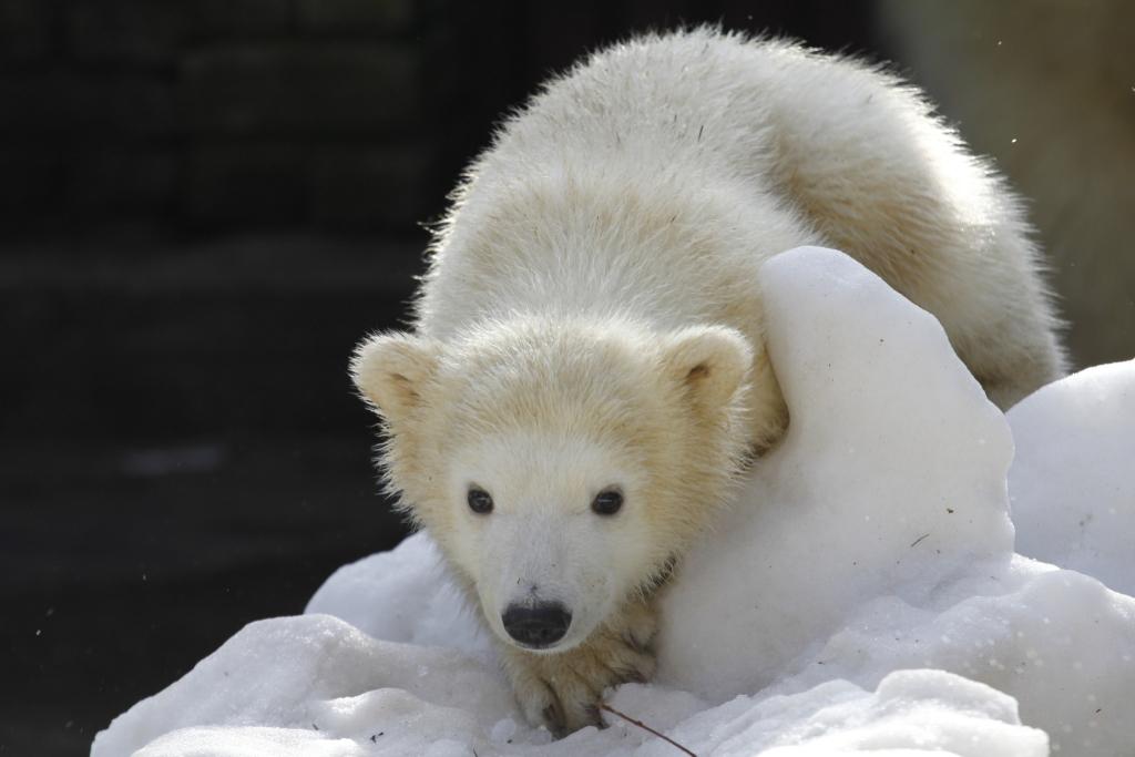 KA SINA SAAD AIDATA! Jääkarude uus kodu on jätkuvalt murekoht