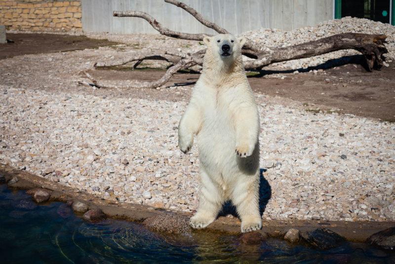 Jääkarupoeg Aron sai vaderilt maitsva ja jahutava kingituse