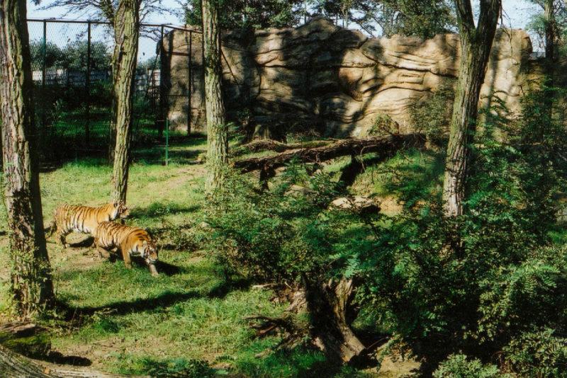 Amuuri tiiger Pootsman läheb Tšehhi Tiigrioru valmimist ootama